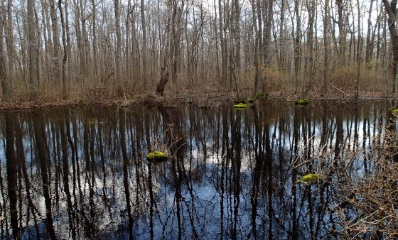 A photo of a Delmarva bay in spring shows the wetland flooded. In summer and fall this same wetland is dry. This isolated wetland falls under Obama's Waters of the U.S. Rule.