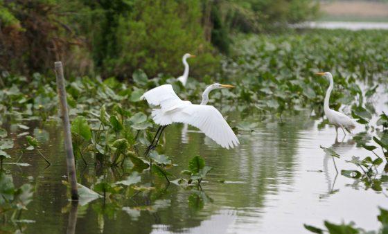 Great egrets at the John Heinz National Wildlife Refuge in Philadelphia.