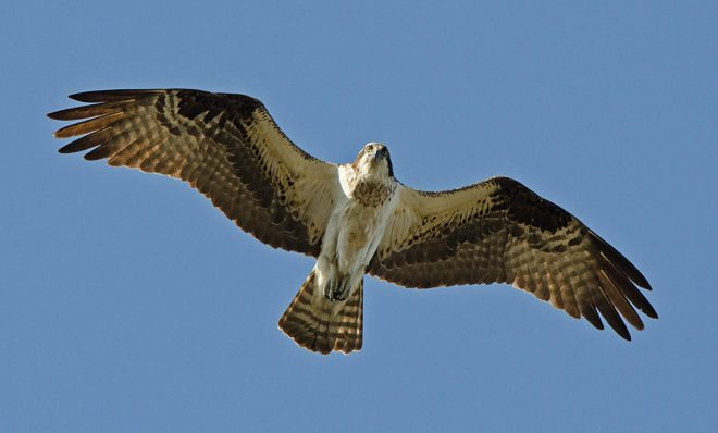 The osprey population has grown in part because of a decline in contaminants in the Delaware estuary.