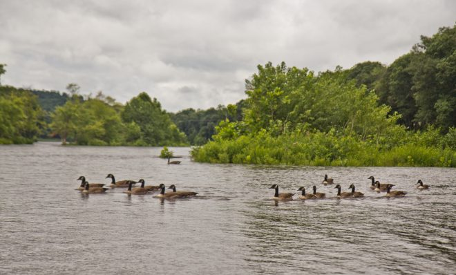 Canadian geese on the upper Delaware River.
