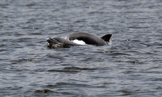 Dolphins swim in the Shrewsbury River Wednesday, July 2, 2008, in Sea Bright, N.J. (AP Photo/Mel Evans)