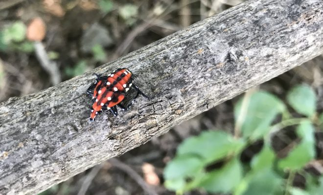 A spotted lanternfly nymph.