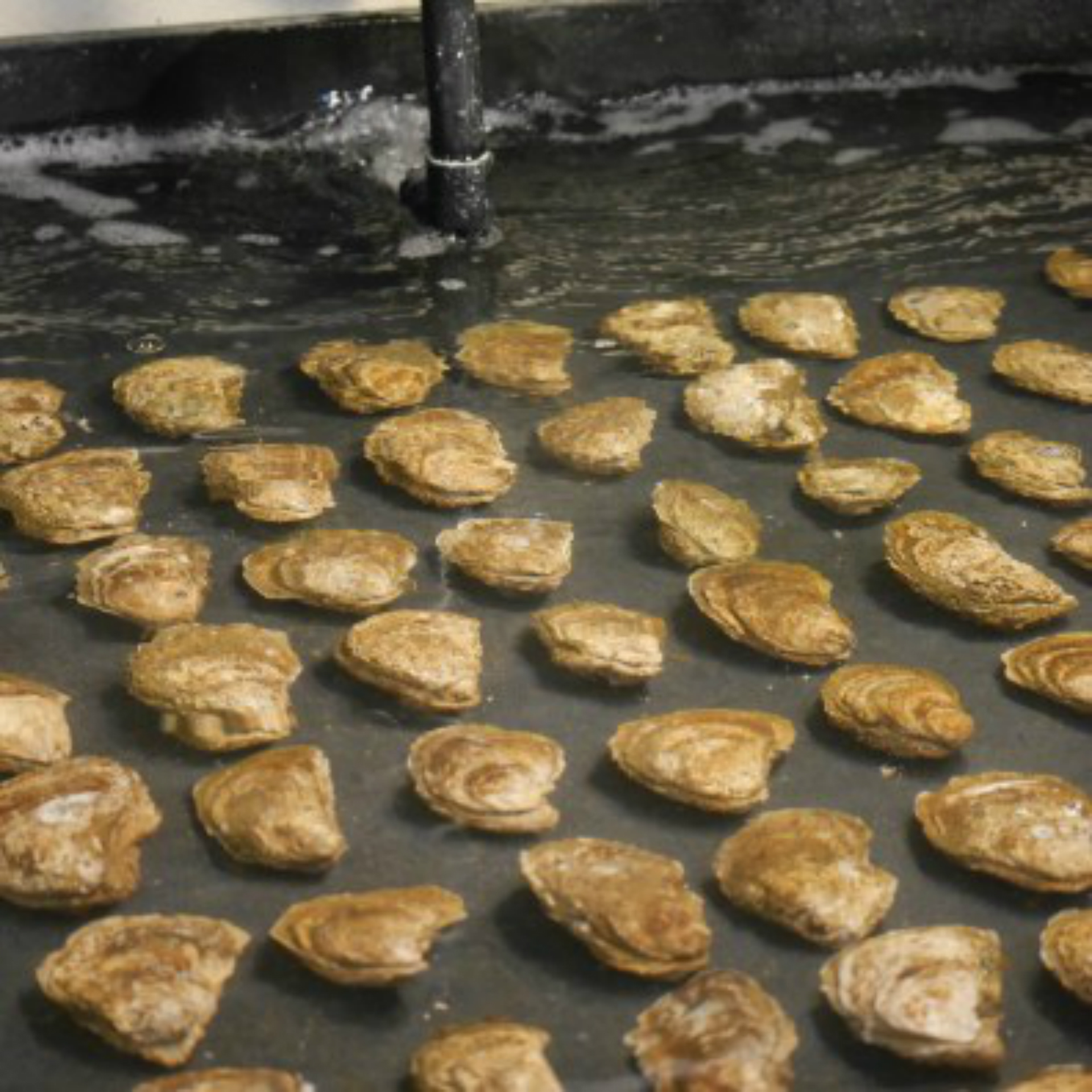 Oysters from the bay waiting to spawn.