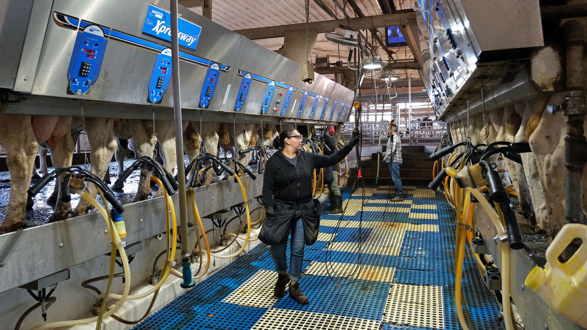 Workers operate an electronic milking machine as cows gather to be milked Sept. 25, 2019, at Ar-Joy Farms in West Fallowfield Township, Pennsylvania.
