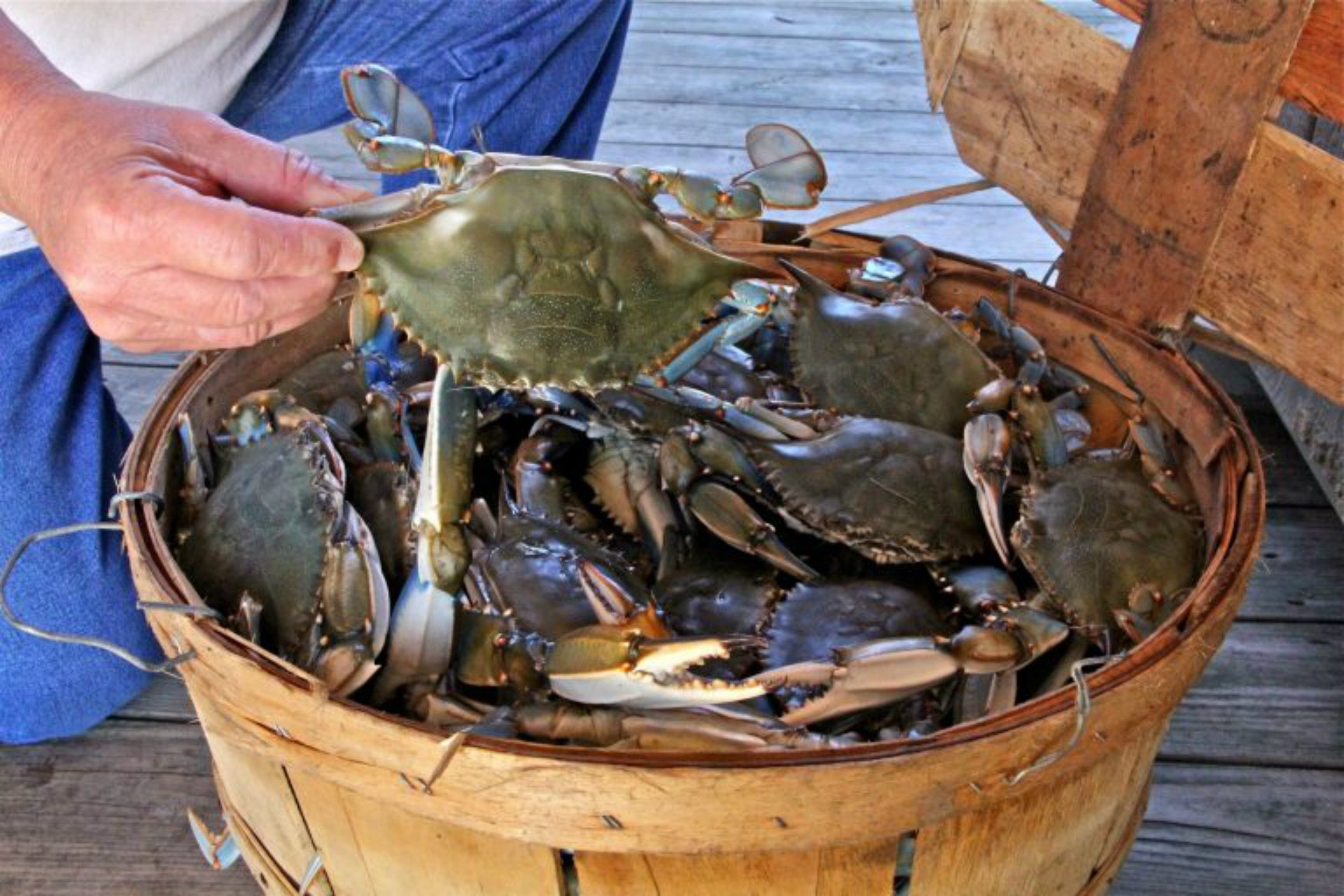 A basket of crabs caught on the Delaware bayshore. (Emma Lee/WHYY)