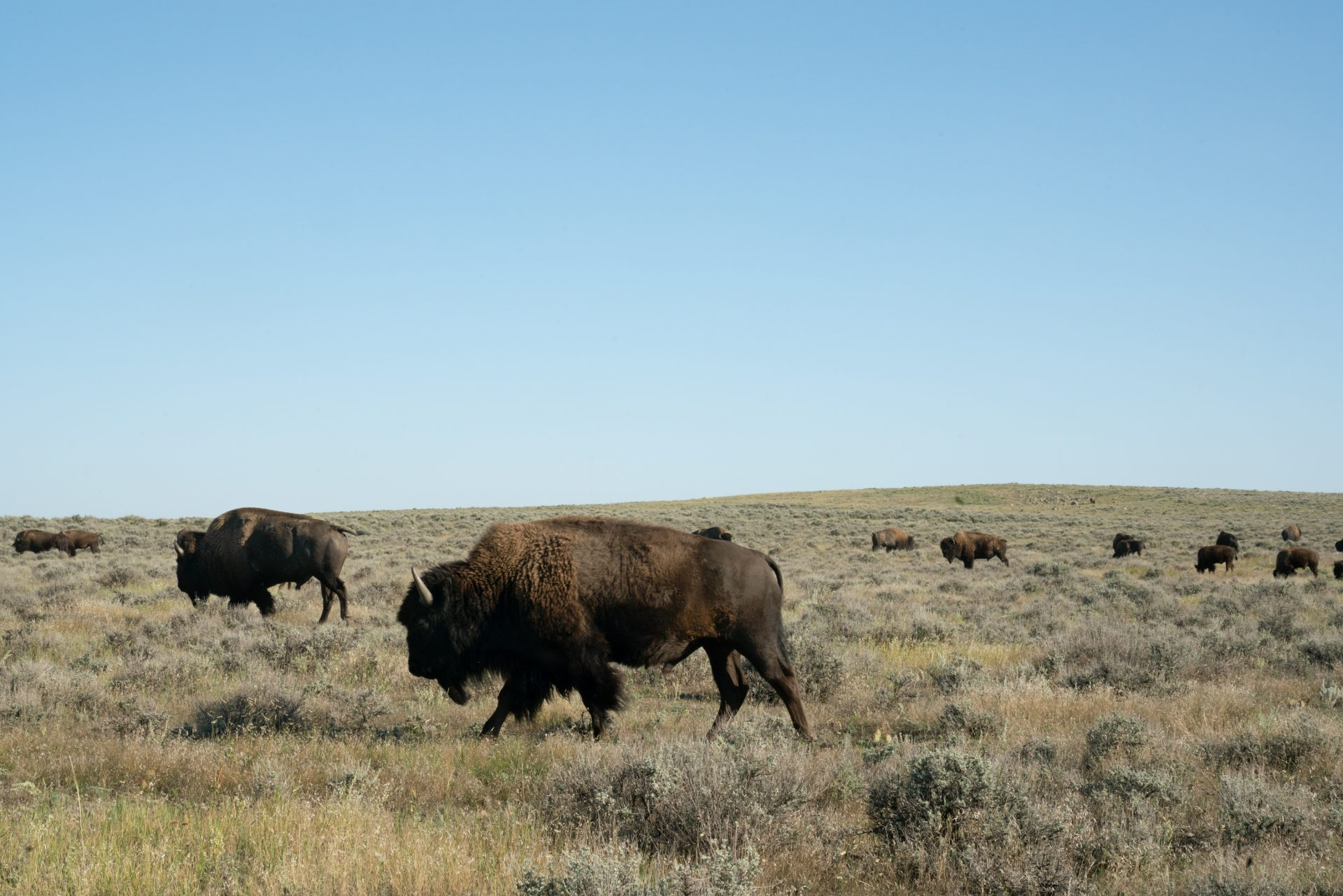 Bison walk on American Prairie Reserve land. The organization is slowly purchasing ranches from willing sellers, phasing out the cows and replacing them with wild bison.