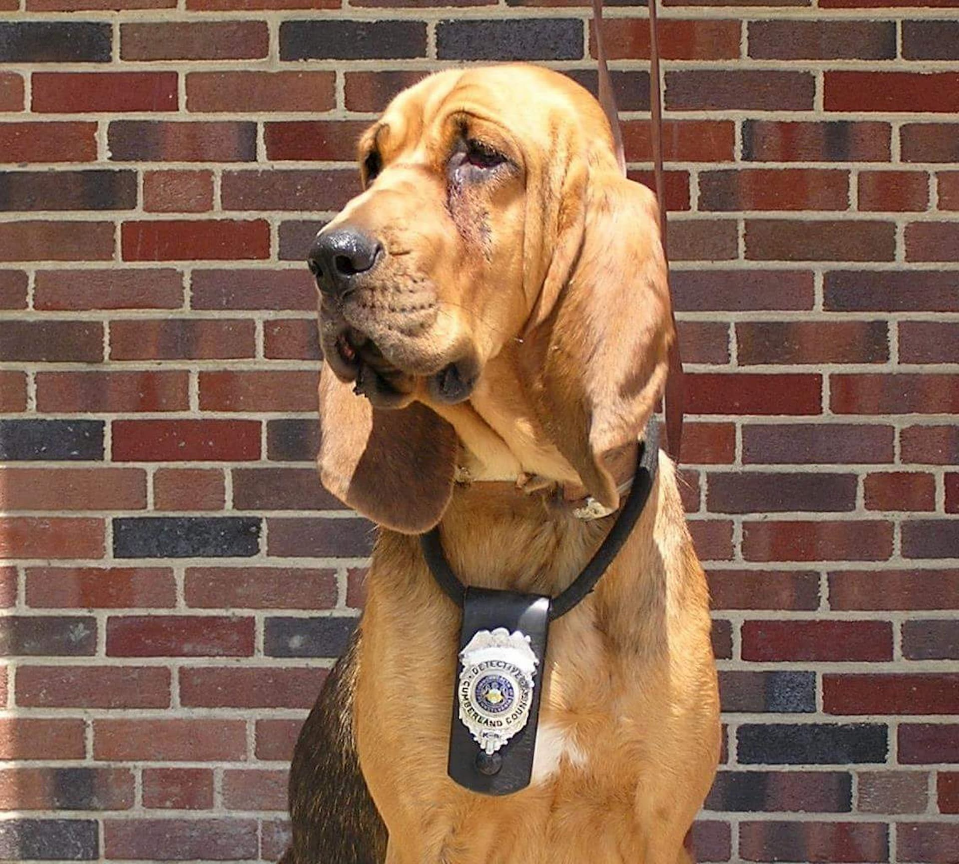 Photo of Detective K9 Briggs, a canine on the Summit Search and Rescue.