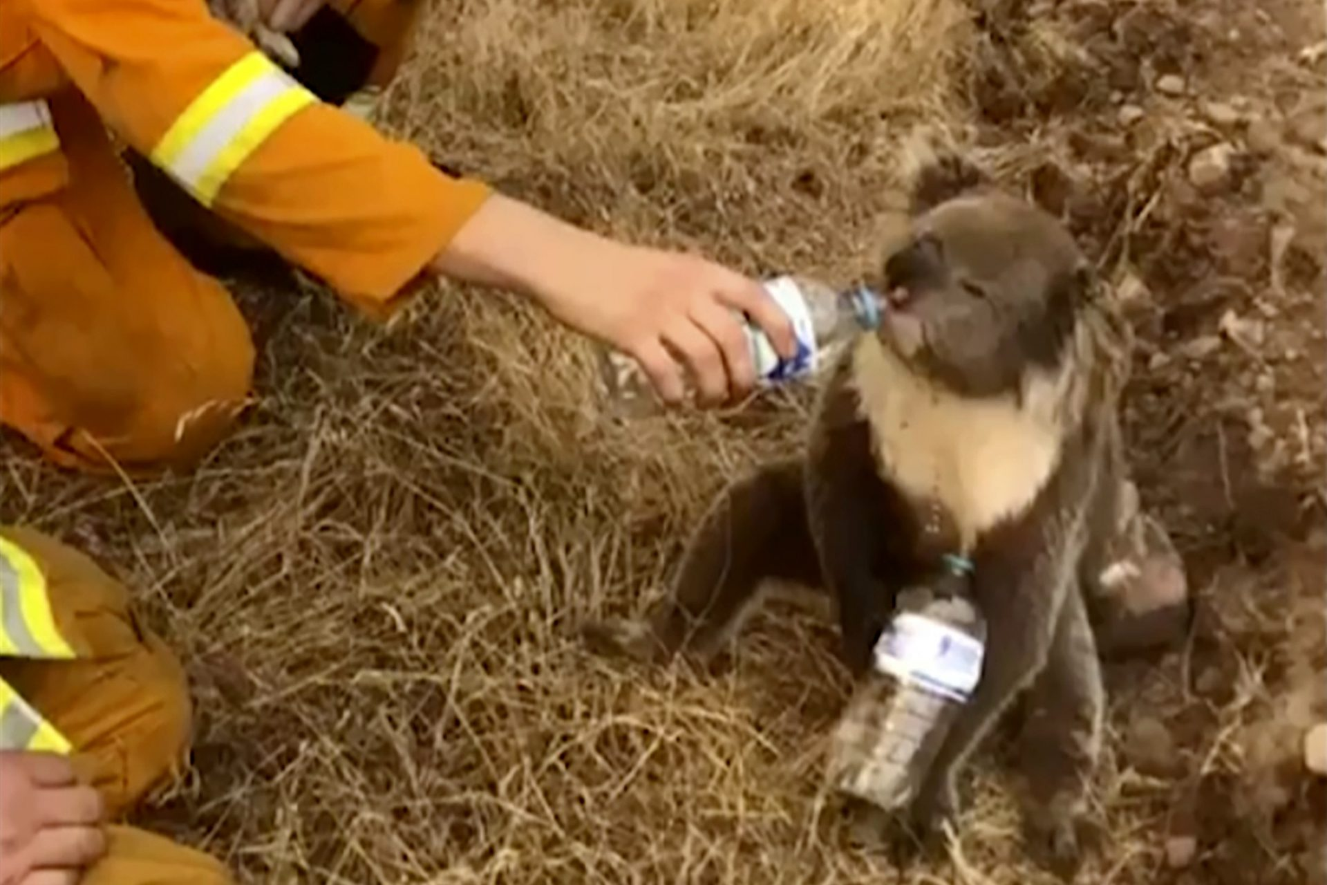 FIEL - In this image made from video taken on Dec. 22, 2019, and provided by Oakbank Balhannah CFS, a koala drinks water from a bottle given by a firefighter in Cudlee Creek, South Australia. Thousands of koalas are feared to have died in a wildfire-ravaged area north of Sydney, further diminishing Australia's iconic marsupial, while the fire danger accelerated Saturday, Dec. 28, 2019 in the country's east as temperatures soared.