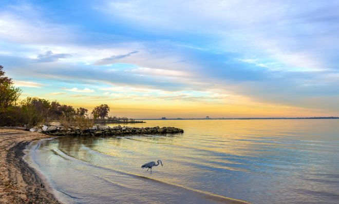 A great blue heron catching a fish on a Chesapeake Bay beach at sunset.