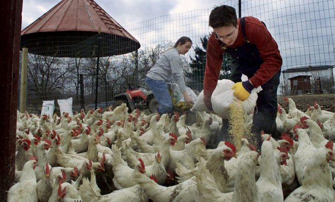 Cayce Mell, left, and Jason Tracy spread feed amid their flock of chickens saved from the tornado-devastated Buckeye Egg megafarm in Croton, Ohio, in September 2000, at their Ooh-Mah-Nee Farm animal sanctuary in Hunker, Pa., on Monday, Feb. 5, 2001.