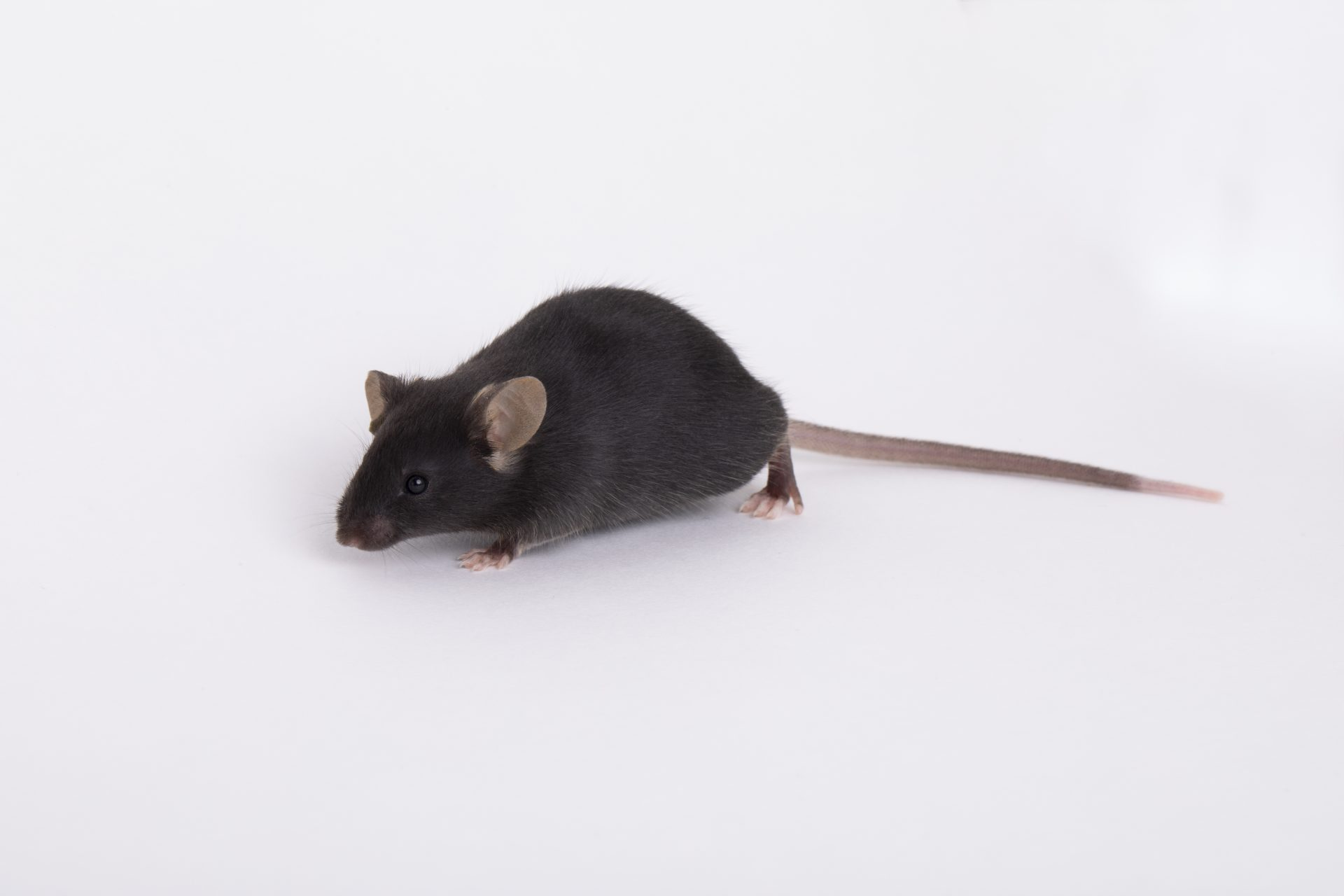 A transgenic mouse produced by The Jackson Lab