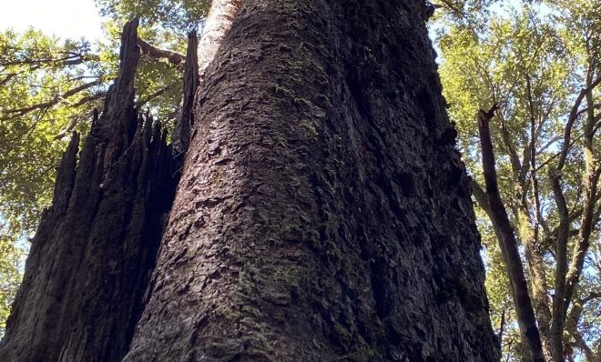 The ancient Gondwana Rainforests of Australia were damaged by recent wildfires. A new study finds the world lost roughly one-third of its old growth forest in the past century.