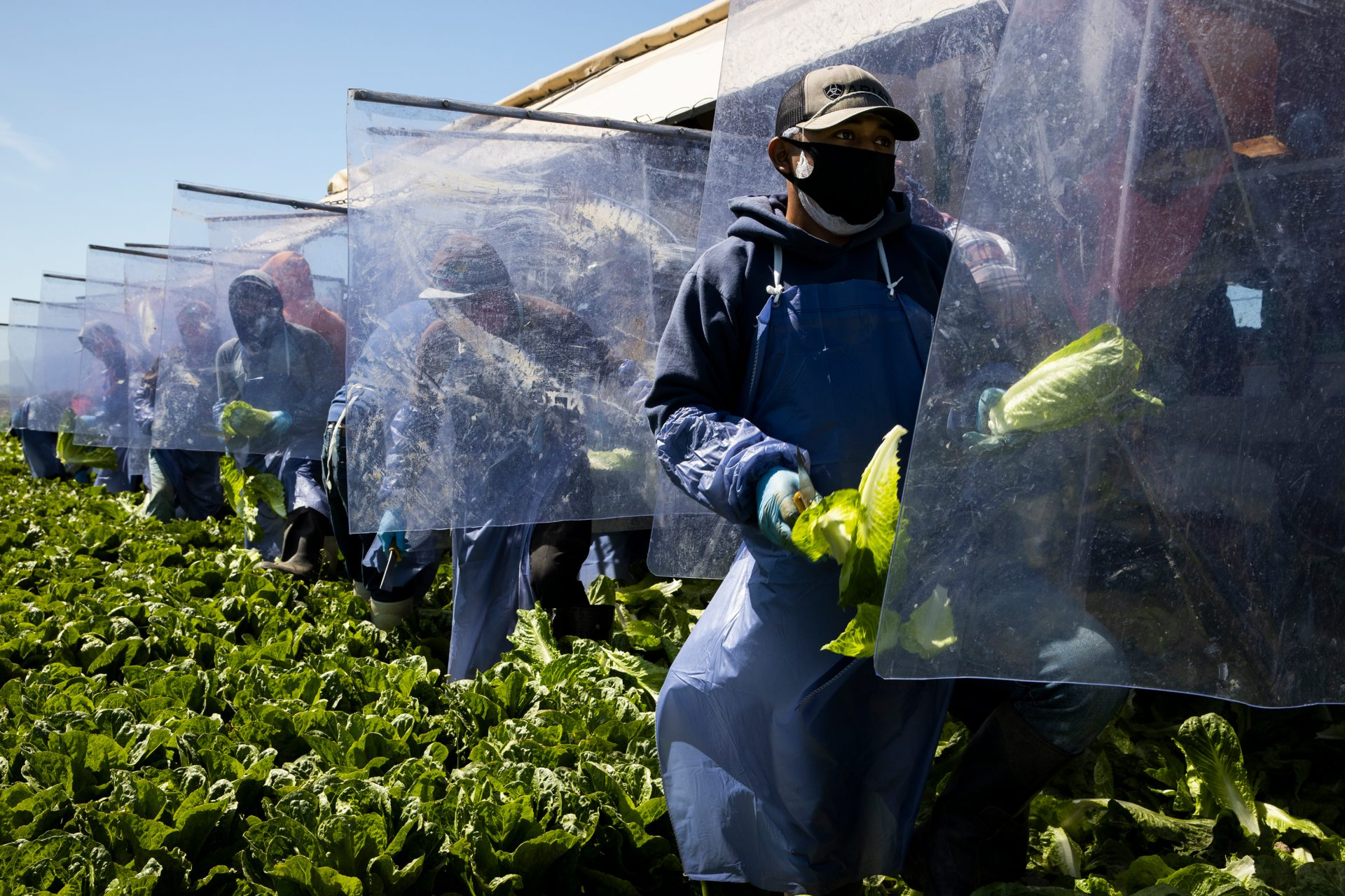 Fresh Harvest farm laborers harvest romaine lettuce on a machine with heavy plastic dividers that separate workers from each other in Greenfield, California, April 27, 2020.
