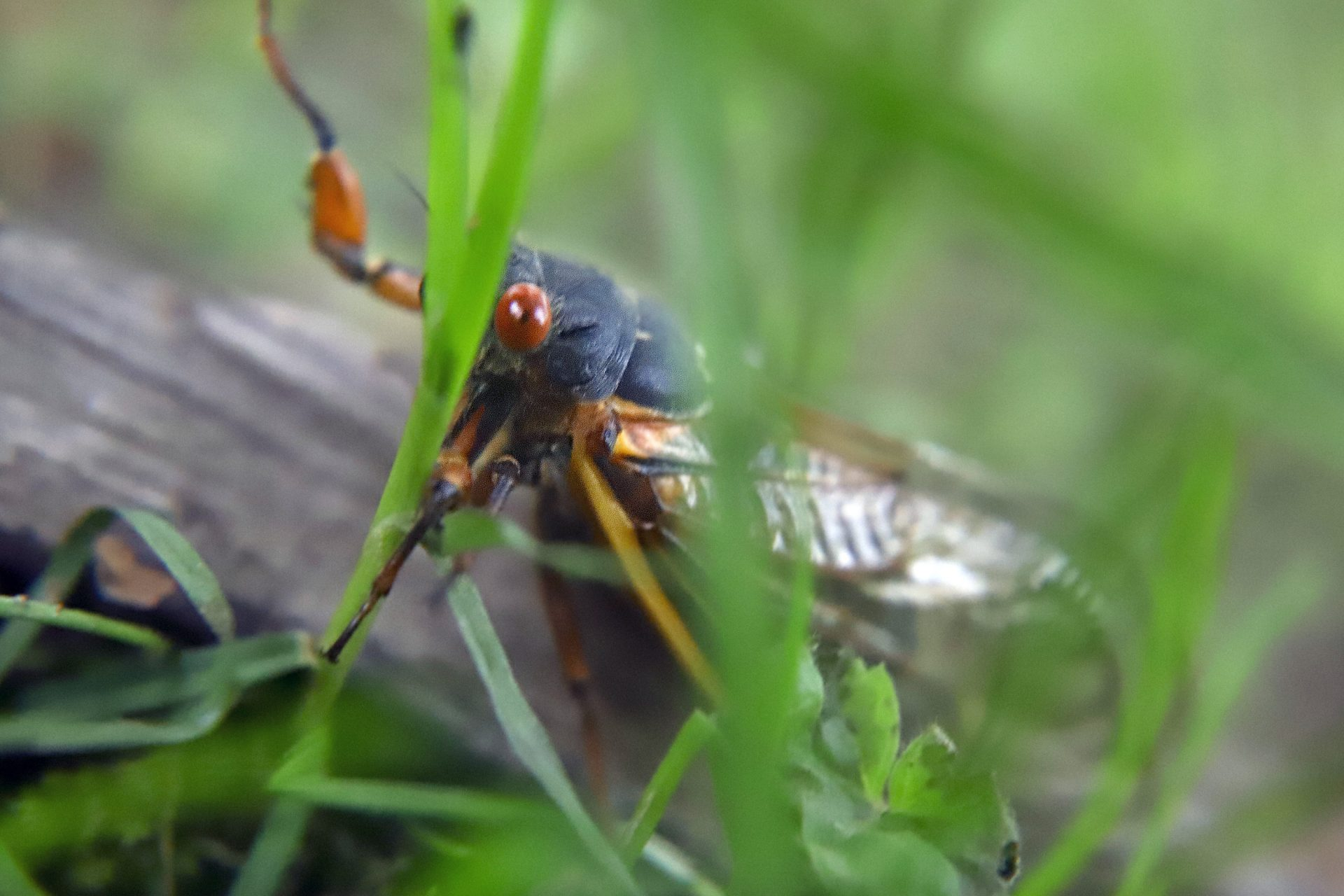 One of the millions of periodical cicadas in the area crawls through grass on Saturday, June 1, 2019 after it emerged from a 17-year hibernation in Zelienople, Pa.