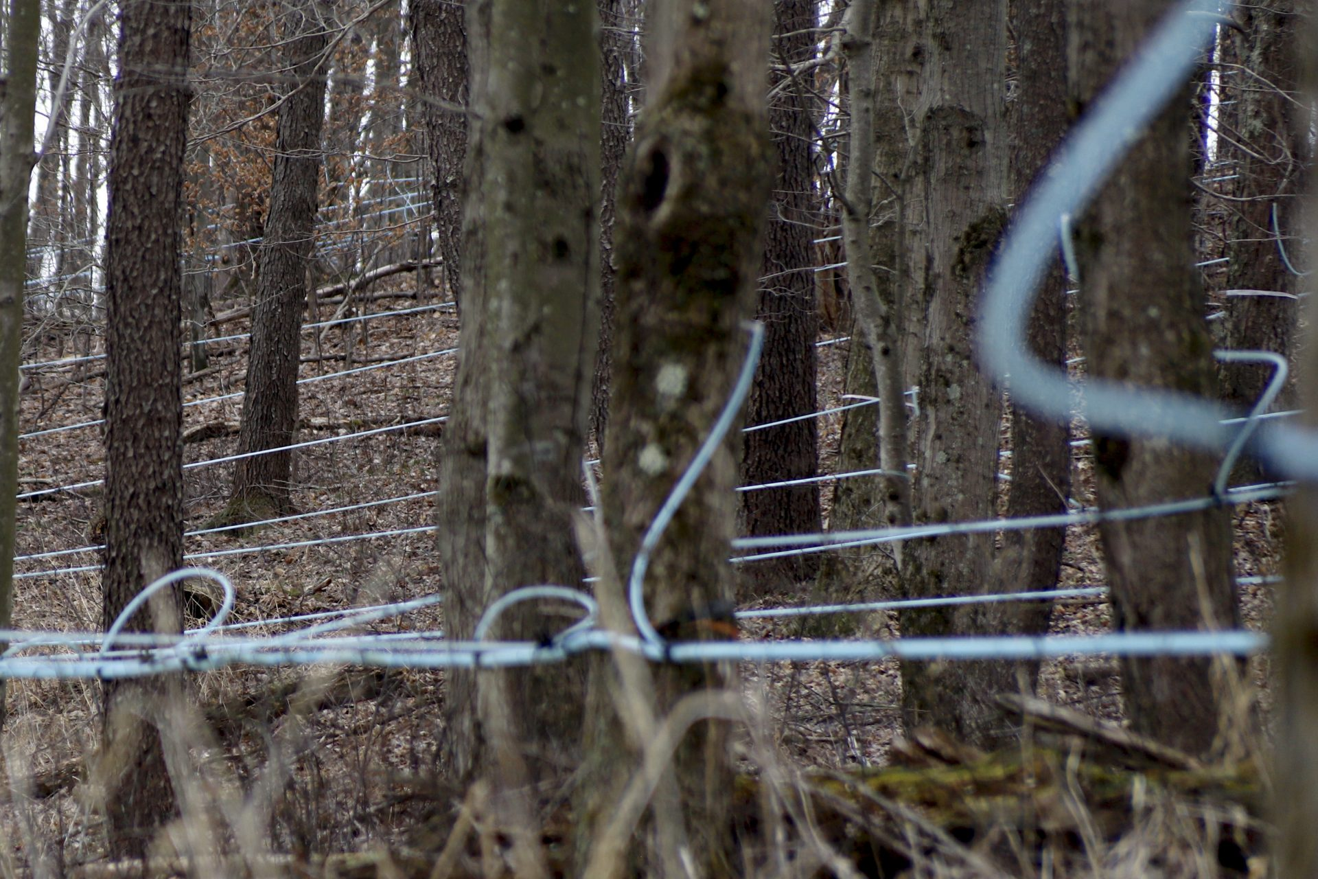 Some of the network of tubing that connects to over 3500 maple trees collecting sap is visible in the woods at the Triple J Farms before it gets to the vessels in their wet/dry vacuum system, Saturday, March 14, 2020, in Titusville, Pa.